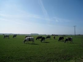 Ökologische Milchviehwirtschaft in Utersum, Föhr