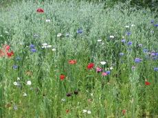 Greening von Hafer-Anbau in Schweden