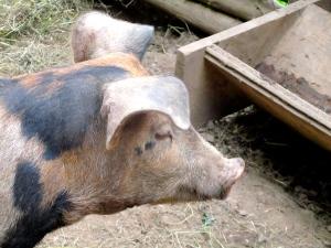 Schweinehaltung im Freiland, beobachtet in Schweden 2010