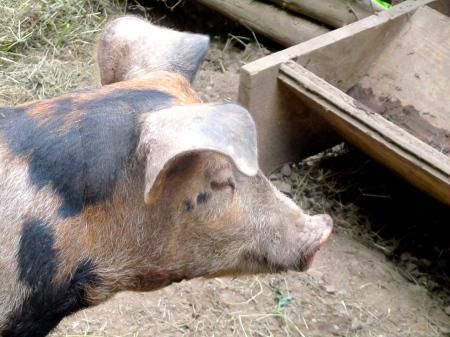 Schwein Freiland